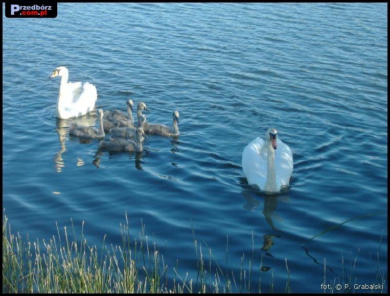 Oglądasz obraz z artykułu: Przedborskie łabędzie, czerwiec 2007