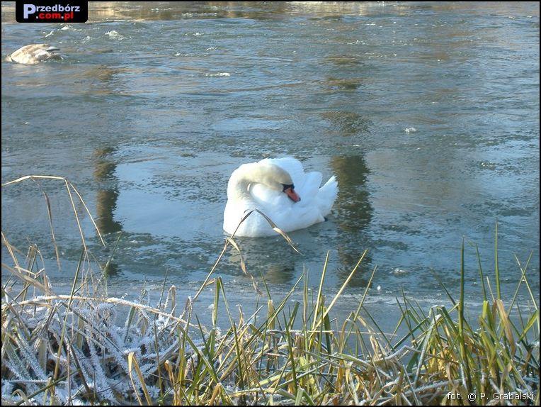 Oglądasz obraz z artykułu: Przedborskie łabędzie, grudzień 2007
