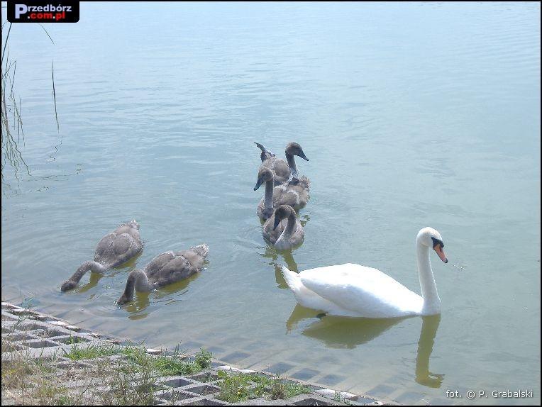 Oglądasz obraz z artykułu: Przedborskie łabędzie, lipiec 2007
