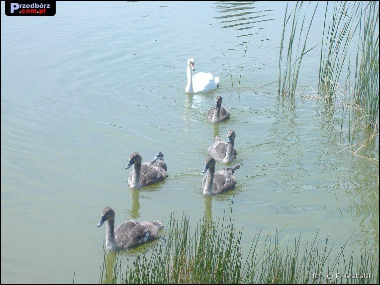Ogl膮dasz obraz z artyku艂u: Przedborskie 艂ab臋dzie, lipiec 2007