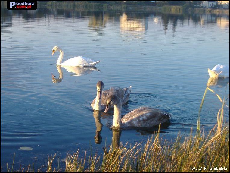 Oglądasz obraz z artykułu: Przedborskie łabędzie, październik 2007