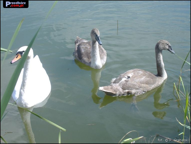 Oglądasz obraz z artykułu: Przedborskie łabędzie, sierpień 2007