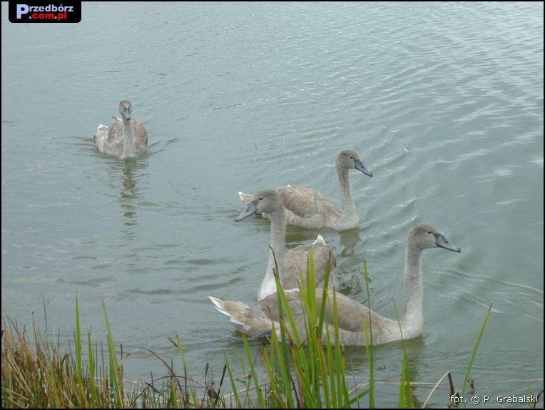 Oglądasz obraz z artykułu: Przedborskie łabędzie, wrzesień 2007